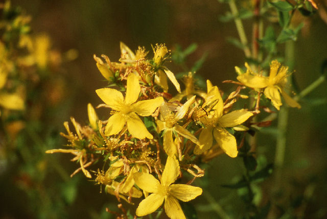 What is St. John's Wort: Effects, Benefits, Dosages